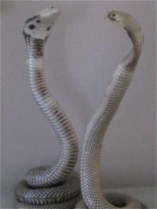 cobras ma